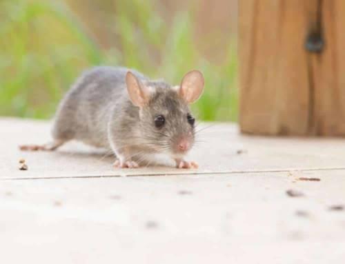 Mantenha os ratos longe do quintal